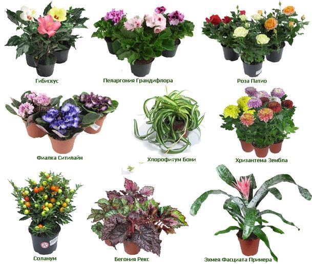 Фото и имена комнатных цветов