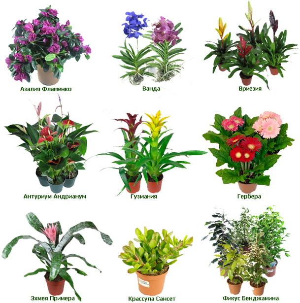 комнатные цветы картинки с названиями: