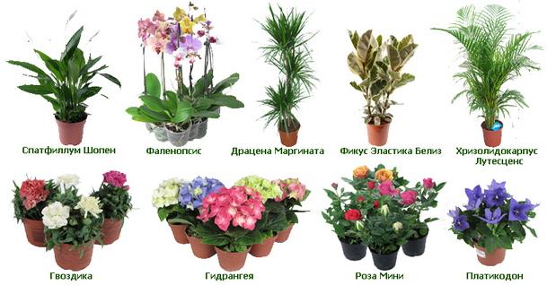 комнатные цветы названия и фотки